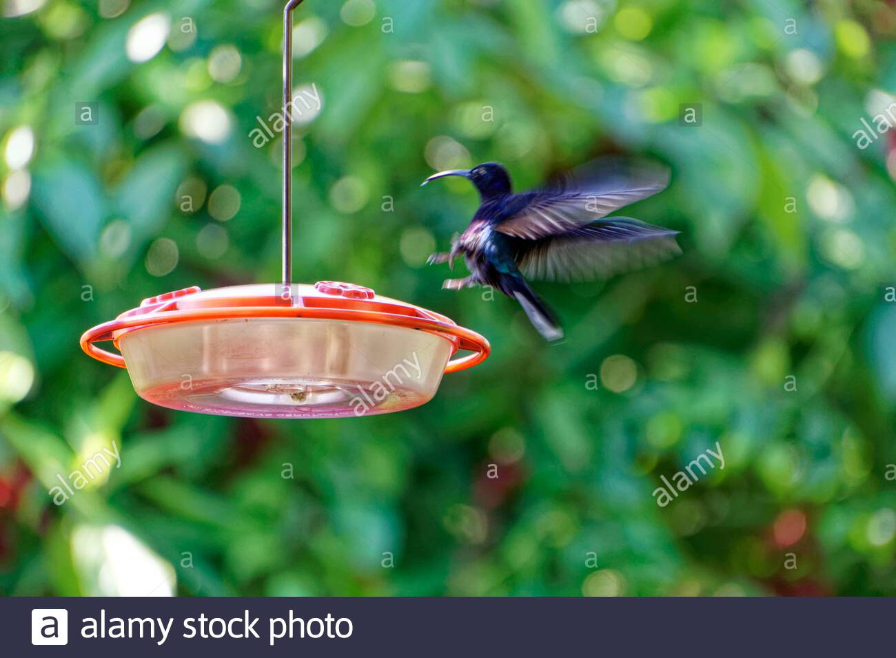 violet-sabrewing-hummingbird-blurred-fli
