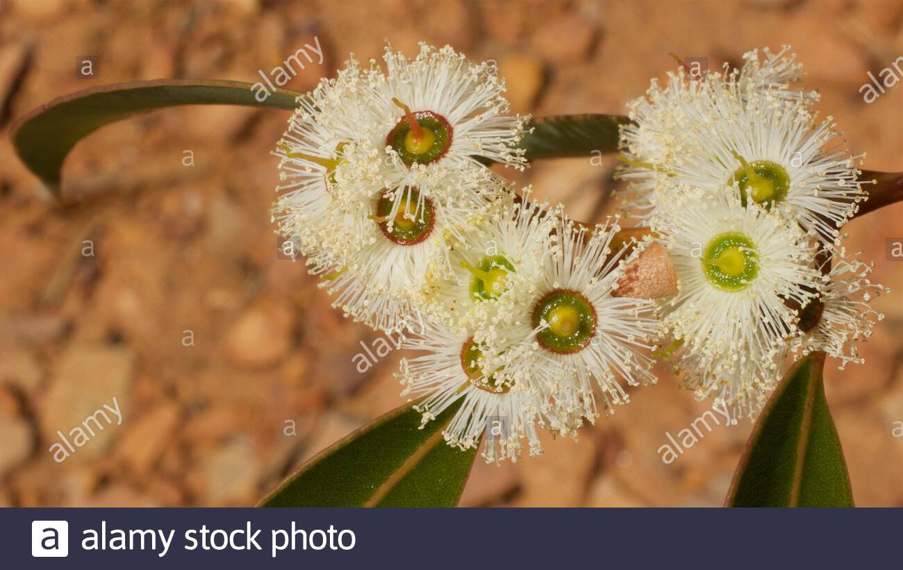 Flowers on a low-growing Jarrah tree (Eucalyptus marginata) in the Stirling Ranges, Western Australia Stock Photo