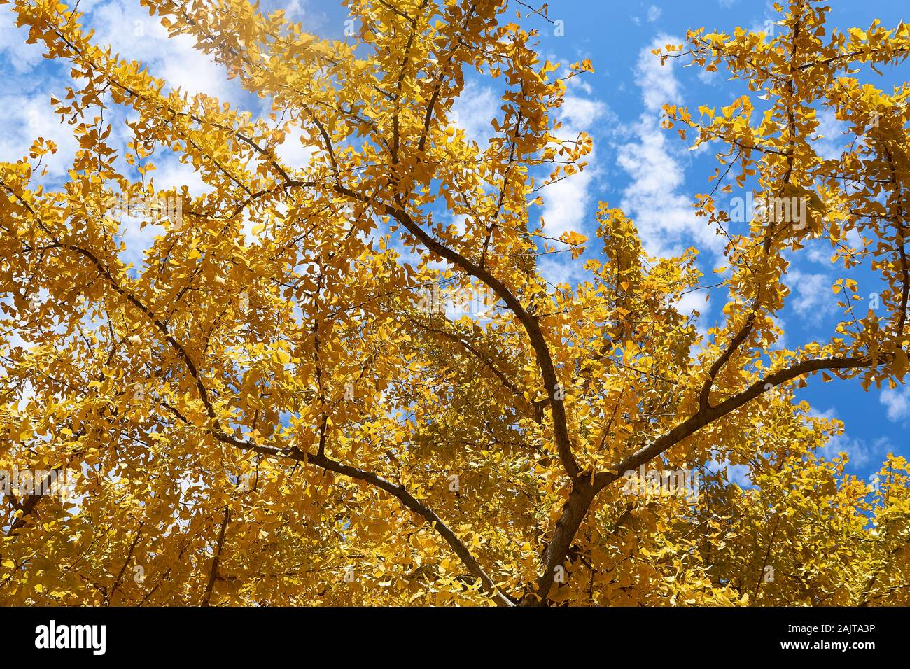 ginkgo-biloba-maidenhair-tree-in-autumn-with-bright-yellow-leaves-stands-in-asakusa-tokyo-with-bright-blue-sky-background-2AJTA3P.jpg
