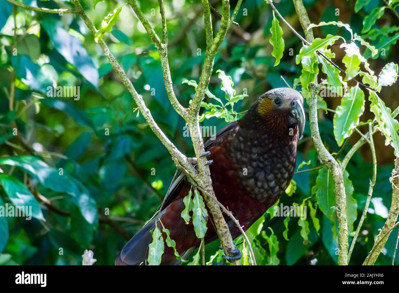 new-zealand-kaka-nestor-meridionalis-on-a-mapou-tree-red-matipo-myrsine-australis-at-zealandia-wildlife-sanctuary-wellington-new-zealand-2AJYHX6.jpg