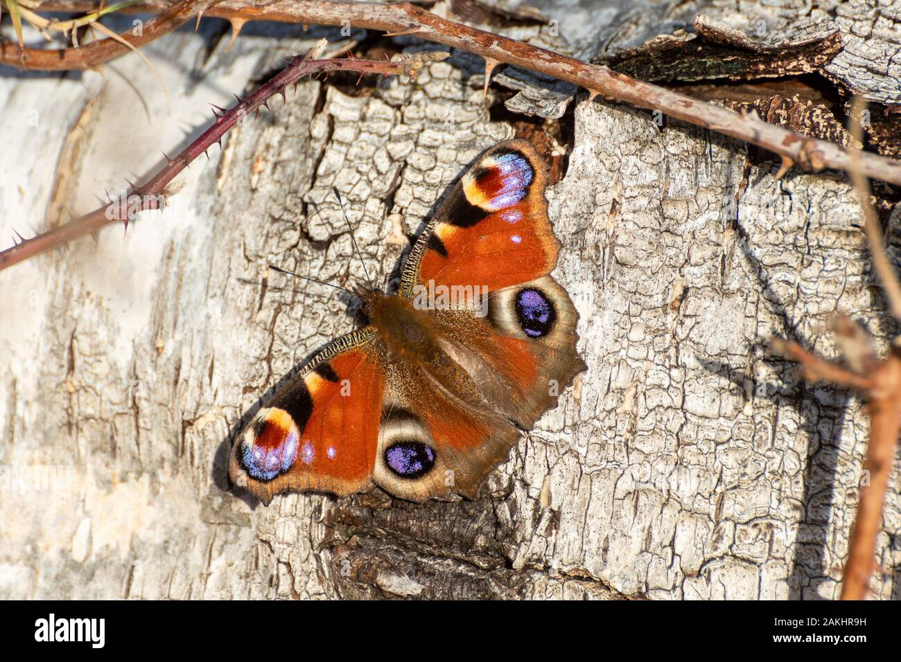 peacock-butterfly-aglais-io-basking-on-a-silver-birch-tree-in-january-a-very-early-emergence-from-hibernation-due-to-unseasonal-warm-temperatures-2AKHR9H.jpg