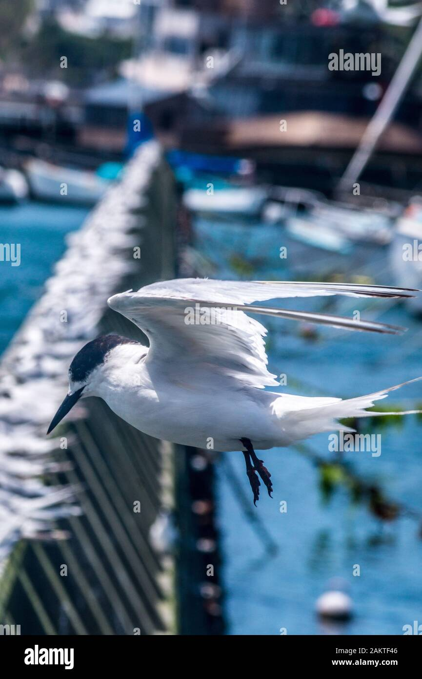 white-fronted-tern-sterna-striata-tara-or-kahawai-bird-on-a-sea-wall-in-oriental-bay-wellington-new-zealand-2AKTF46.jpg