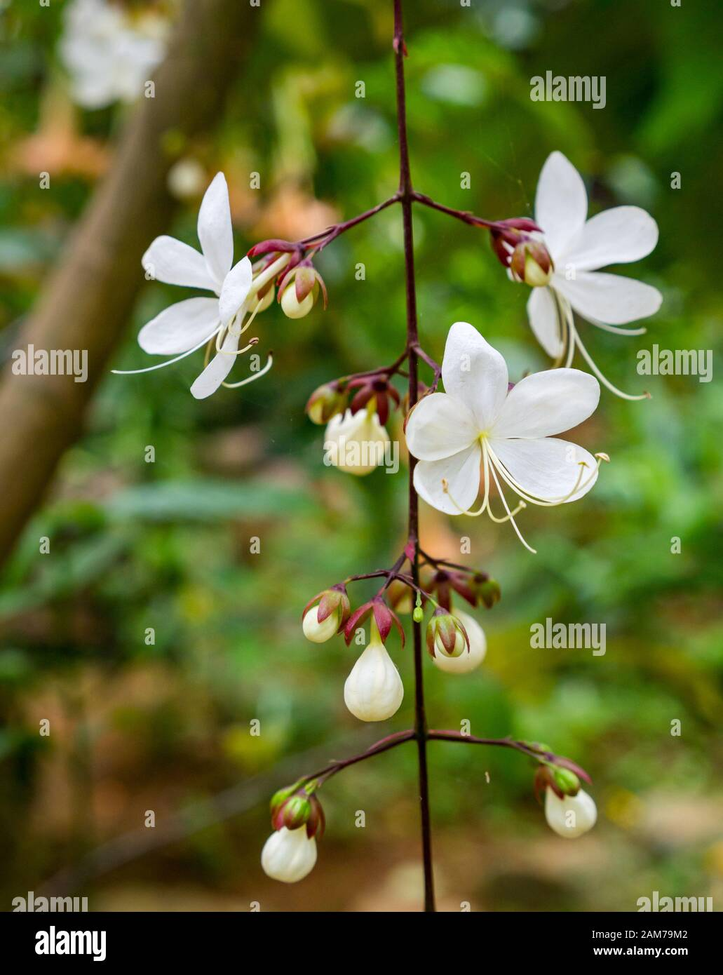 pretty-white-flowers-on-climbing-plant-t