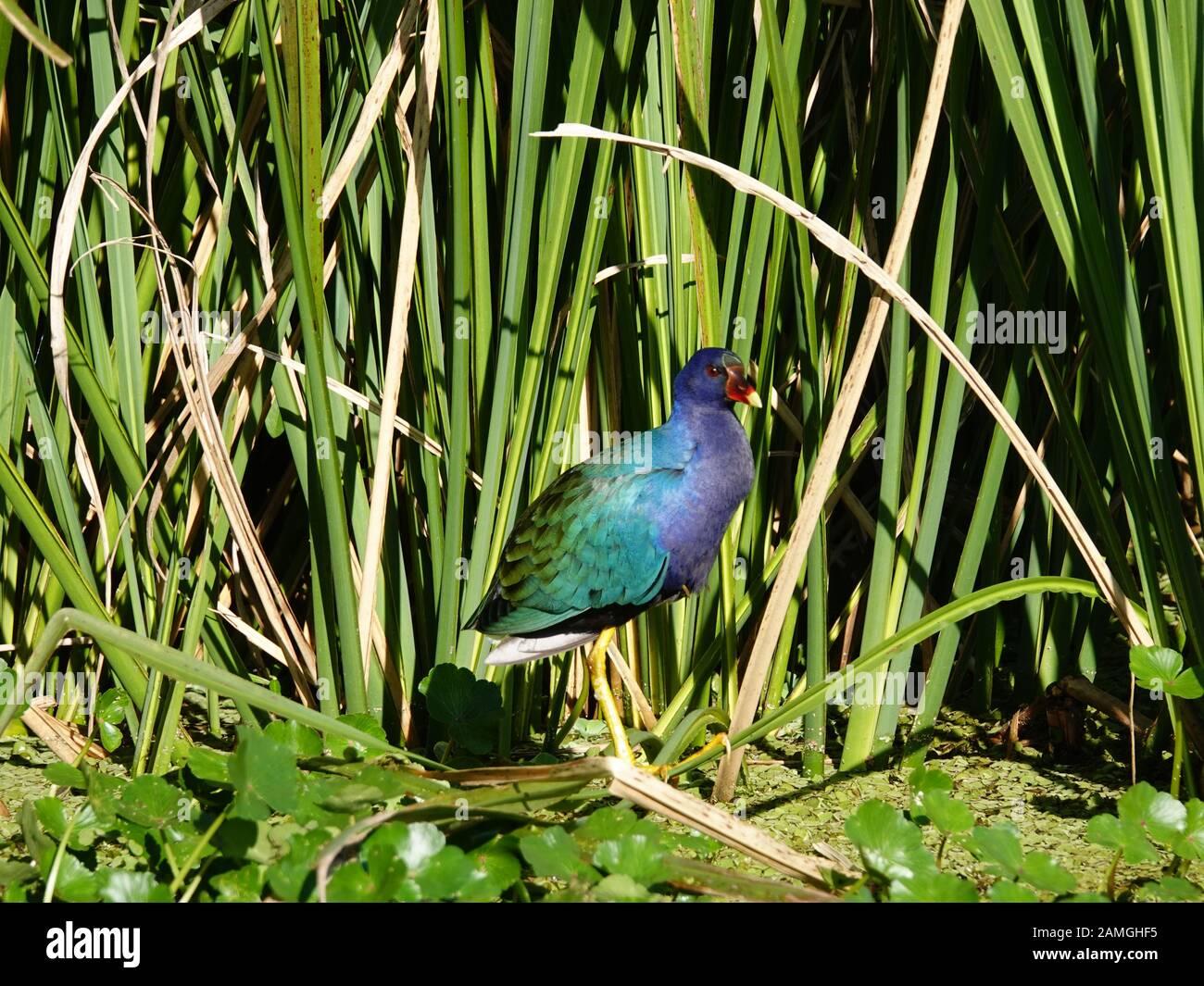 american-purple-gallinule-porphyrio-mart