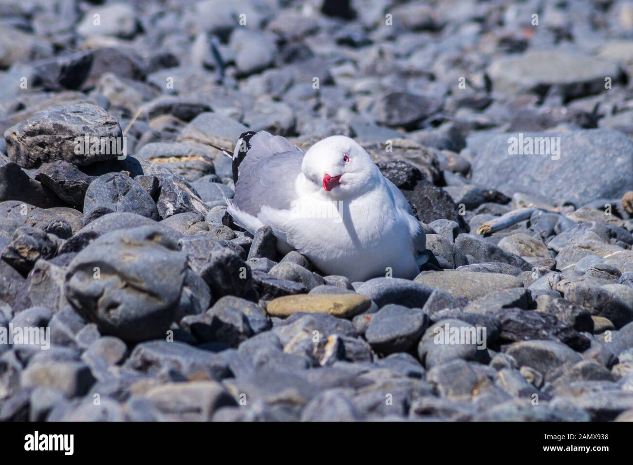 red-billed-gull-larus-scopulinus-cape-palliser-wairarapa-north-island-new-zealand-2AMX938.jpg