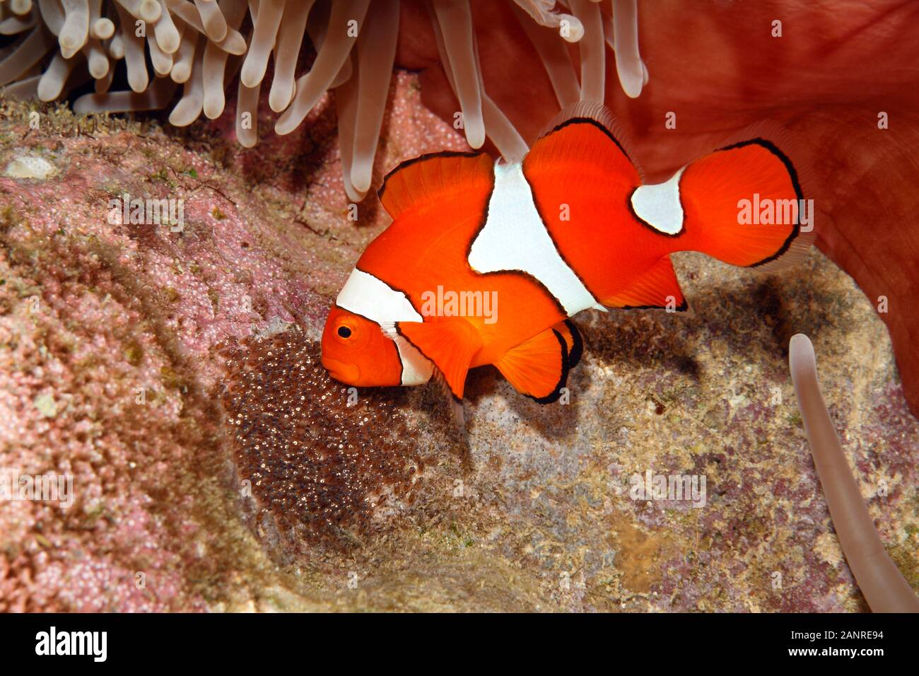 clownfish-amphiprion-percula-male-fish-aerating-eggs-laid-cleared-substrate-underneath-the-host-magnificent-sea-anemone-heteractis-magnifica-2ANRE94.jpg