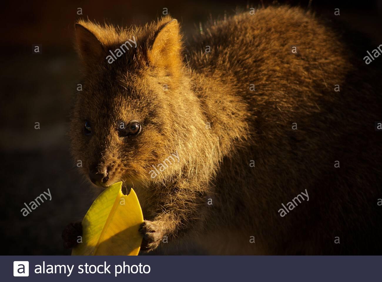 quokka-setonix-brachyurus-munching-on-a-leaf-at-rottnest-island-western-australia-2AP4WGG.jpg