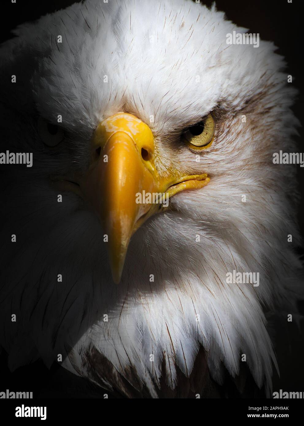 Bald Eagle Stare. Front view of a headshot of a Bald Eagle, Haliaeetus leucocephalus, staring at the camera Stock Photo