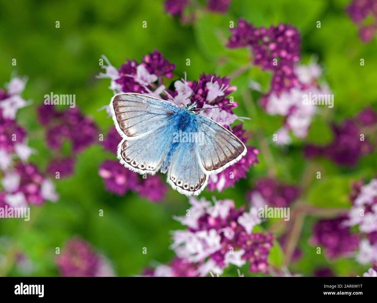 Chalkhill Blue butterfly, came in this morning $95
