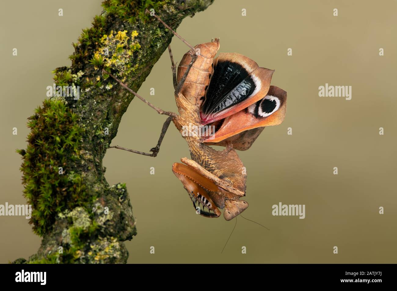 Dead Leaf Mantis (Deroplatys desiccata) showing threat display Stock Photo