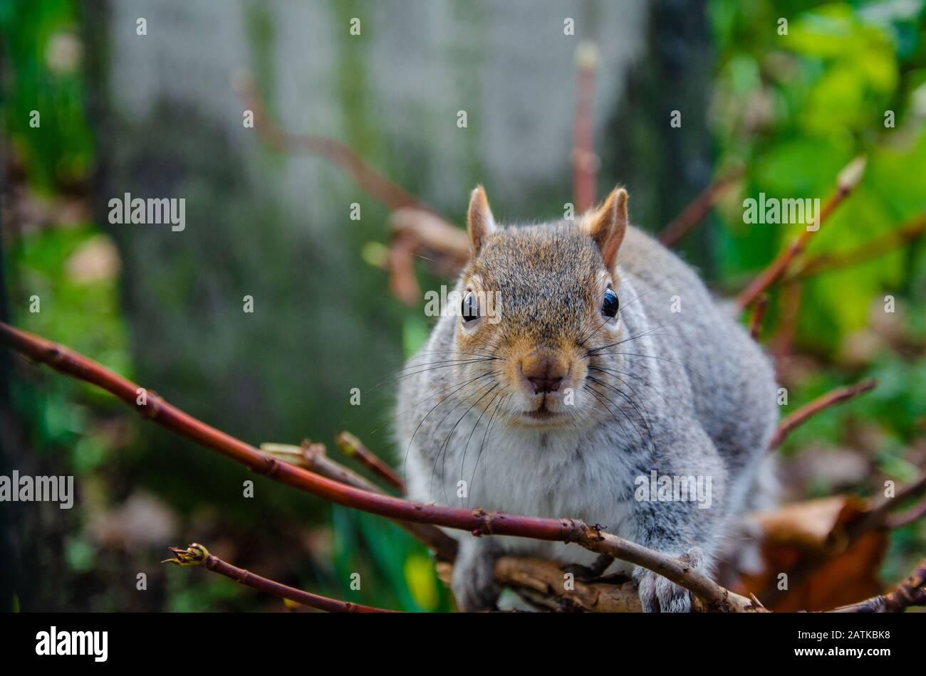 close-up-view-of-a-grey-squirrel-in-a-park-2ATKBK8.jpg