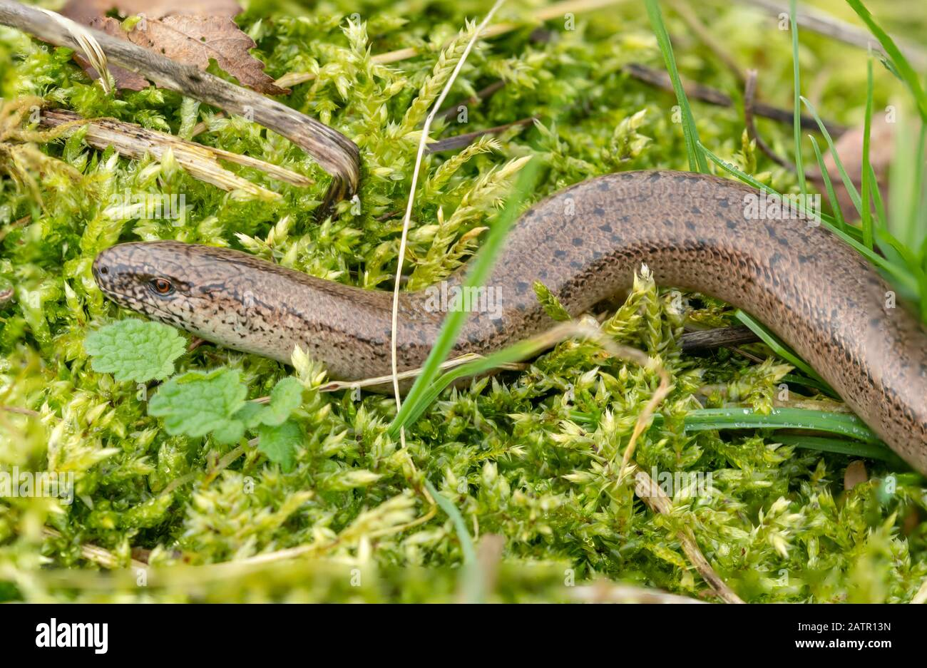 a-male-slow-worm-anguis-fragilis-basking-on-moss-in-early-february-a-very-early-emergence-from-hibernation-due-to-a-mild-winter-surrey-uk-2ATR13N.jpg