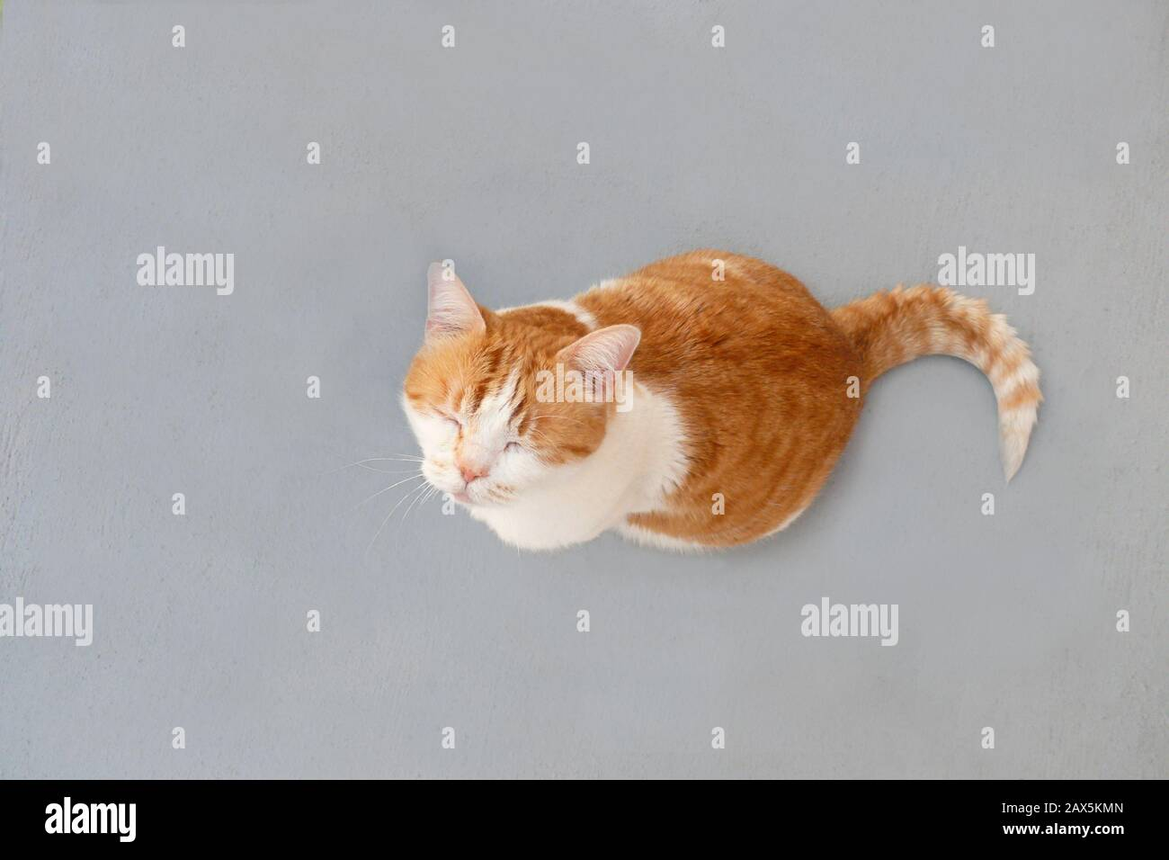 Cute orange and white tabby cat looking up with eyes closed. Looking down at an orange and white domestic cat on a grey textured background. Stock Photo