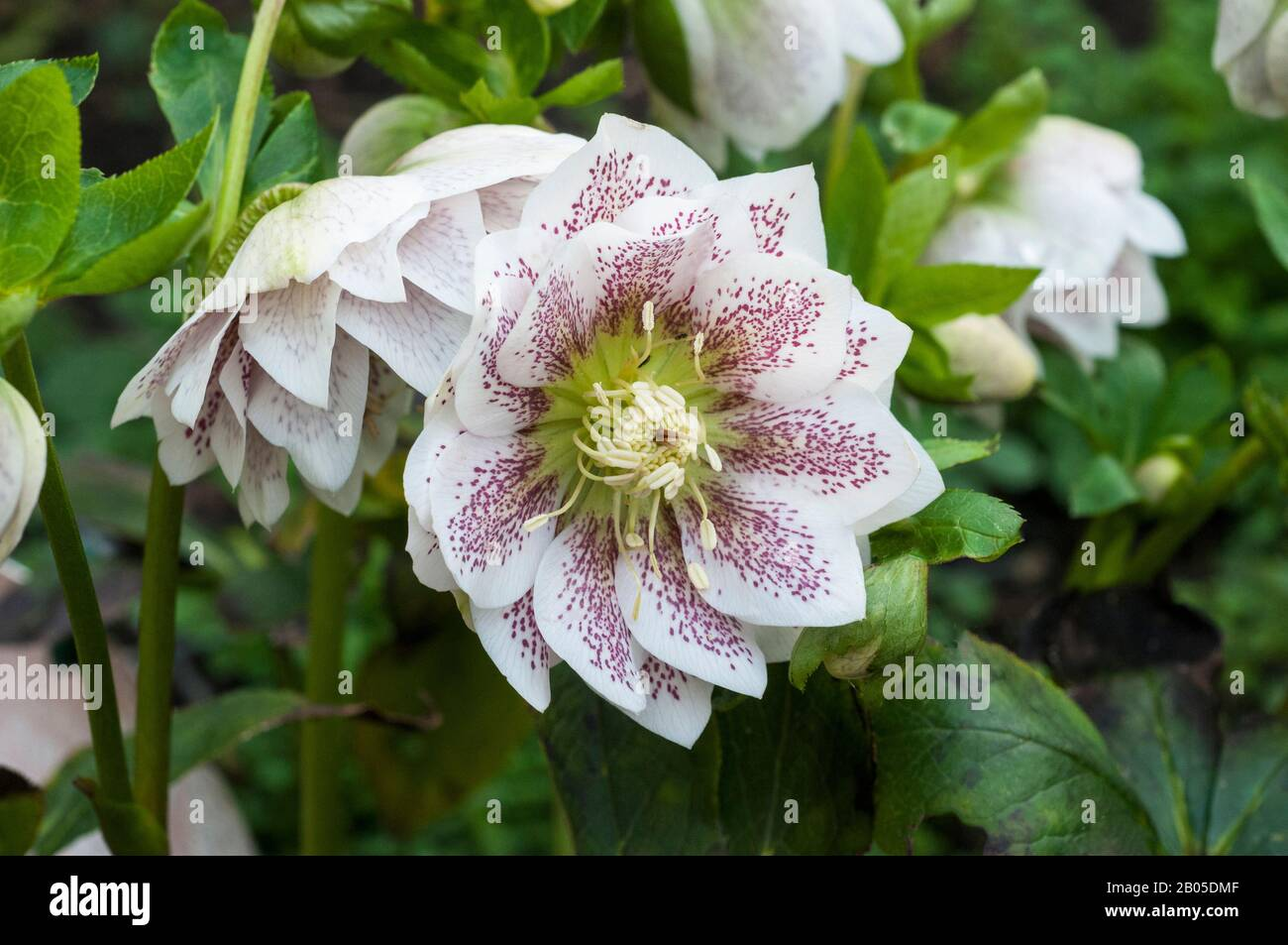 Close up of flower detail of Helleborus Cinderella   Ideal for borders and woodland gardens are evergreen and frost hardy Stock Photo
