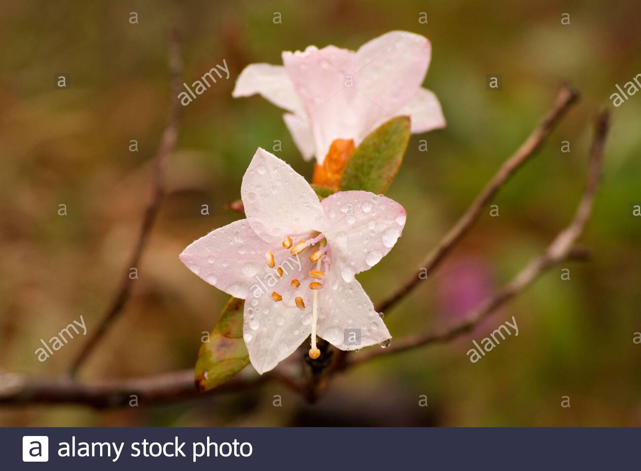 a-white-rhododendron-with-slightly-pink-hues-and-droplets-of-rain-in-bhutan-2B11Y8R.jpg