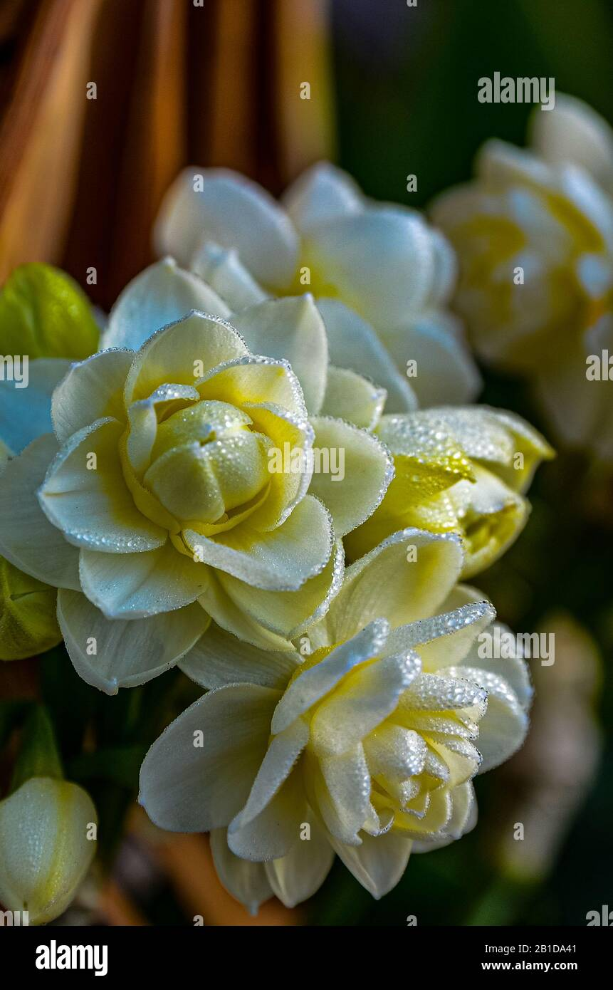 double-narcissus-erlicheer-covered-with-dew-drops-from-an-early-morning-fog-in-san-leandro-california-usa-2B1DA41.jpg