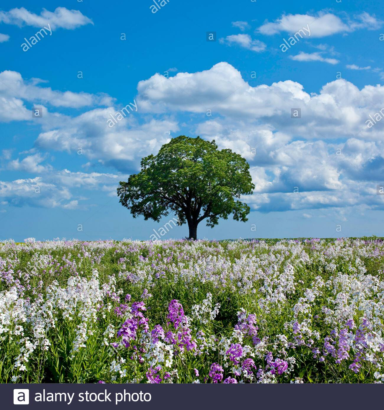 spring-flowers-hesperis-matronalis-and-s