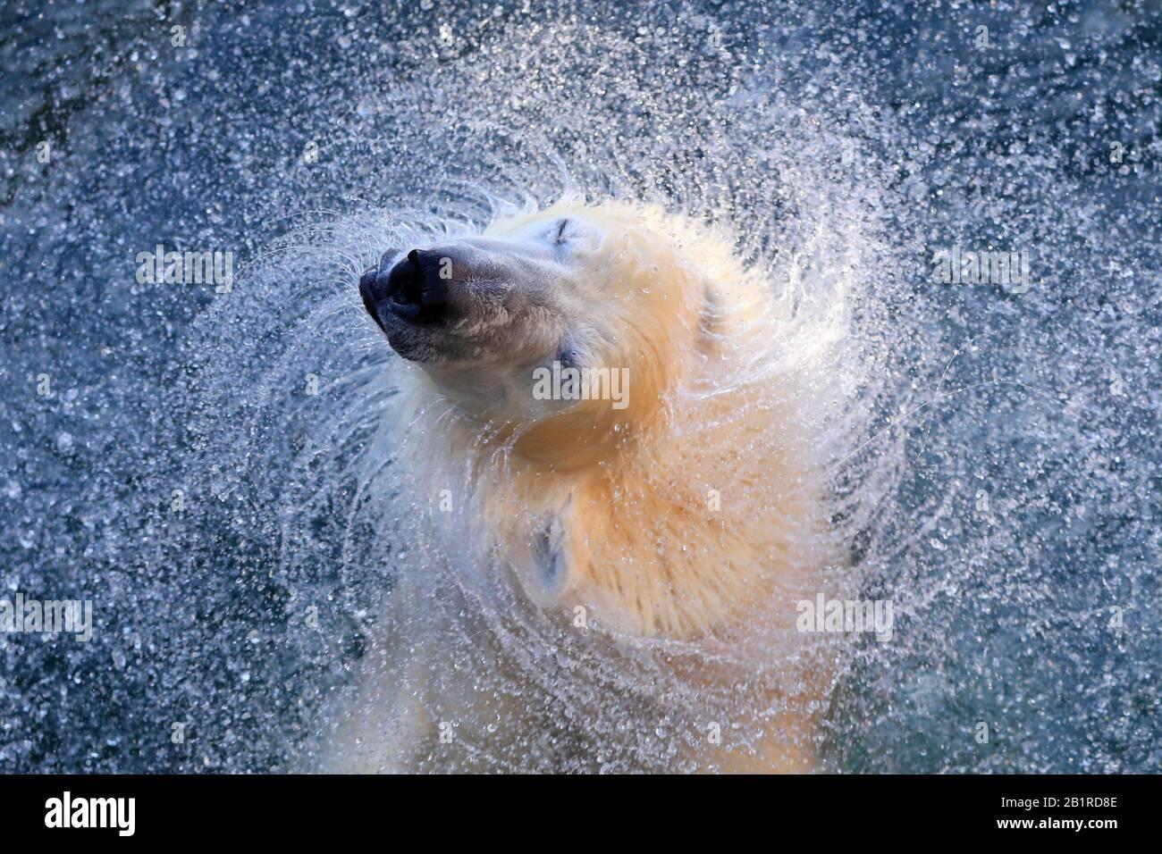 St Petersburg, Russia. 27th Feb, 2020. ST PETERSBURG, RUSSIA - FEBRUARY 27, 2020: A polar bear at Leningrad Zoo. February 27 is International Polar Bear Day. Peter Kovalev/TASS Credit: ITAR-TASS News Agency/Alamy Live News Stock Photo