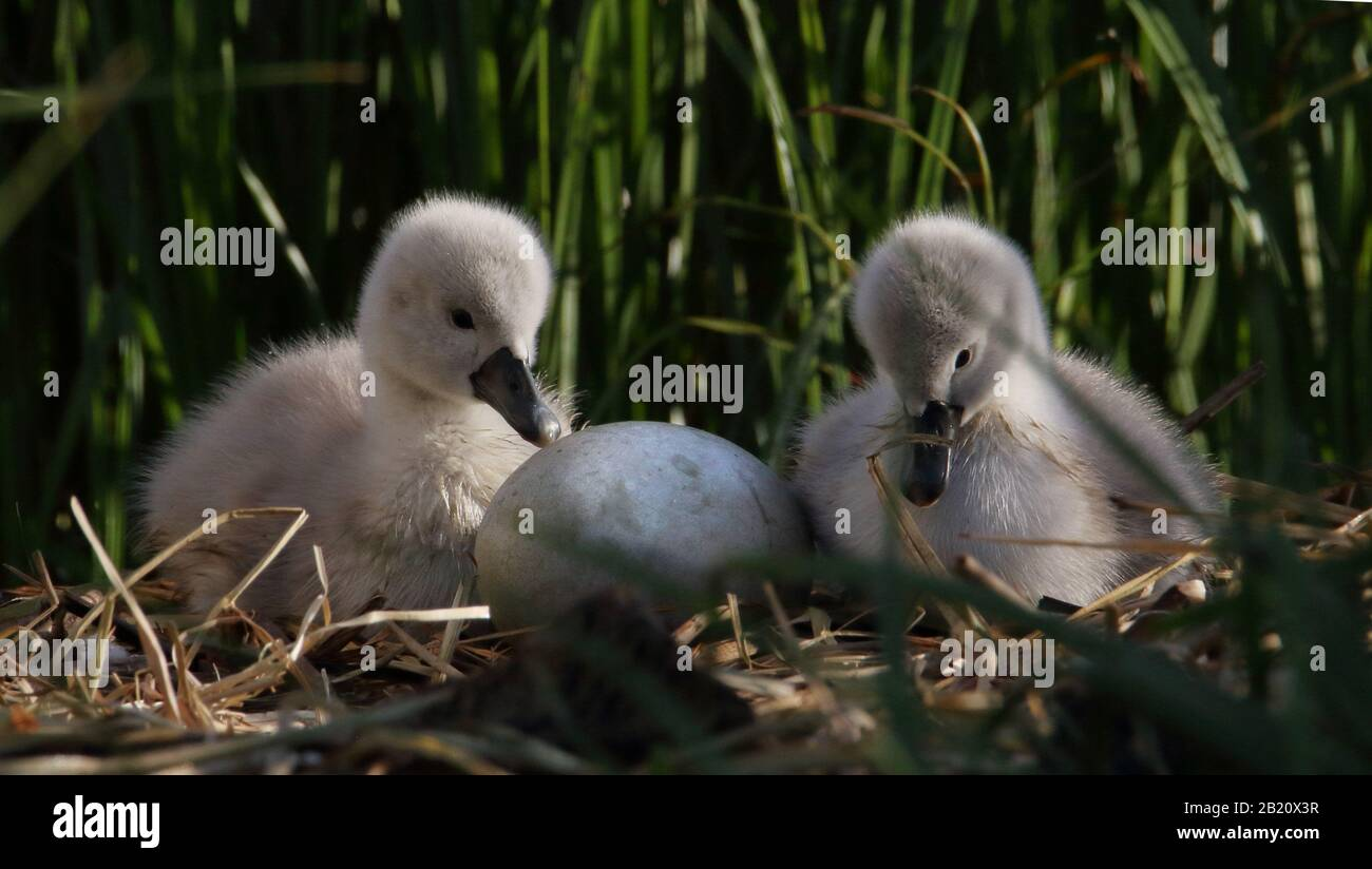 mute-swan-cygnets-watching-an-egg-waiting-for-it-to-hatch-on-a-nest-of-reeds-taken-at-stanpit-marsh-uk-showing-sweet-love-waiting-2B20X3R.jpg