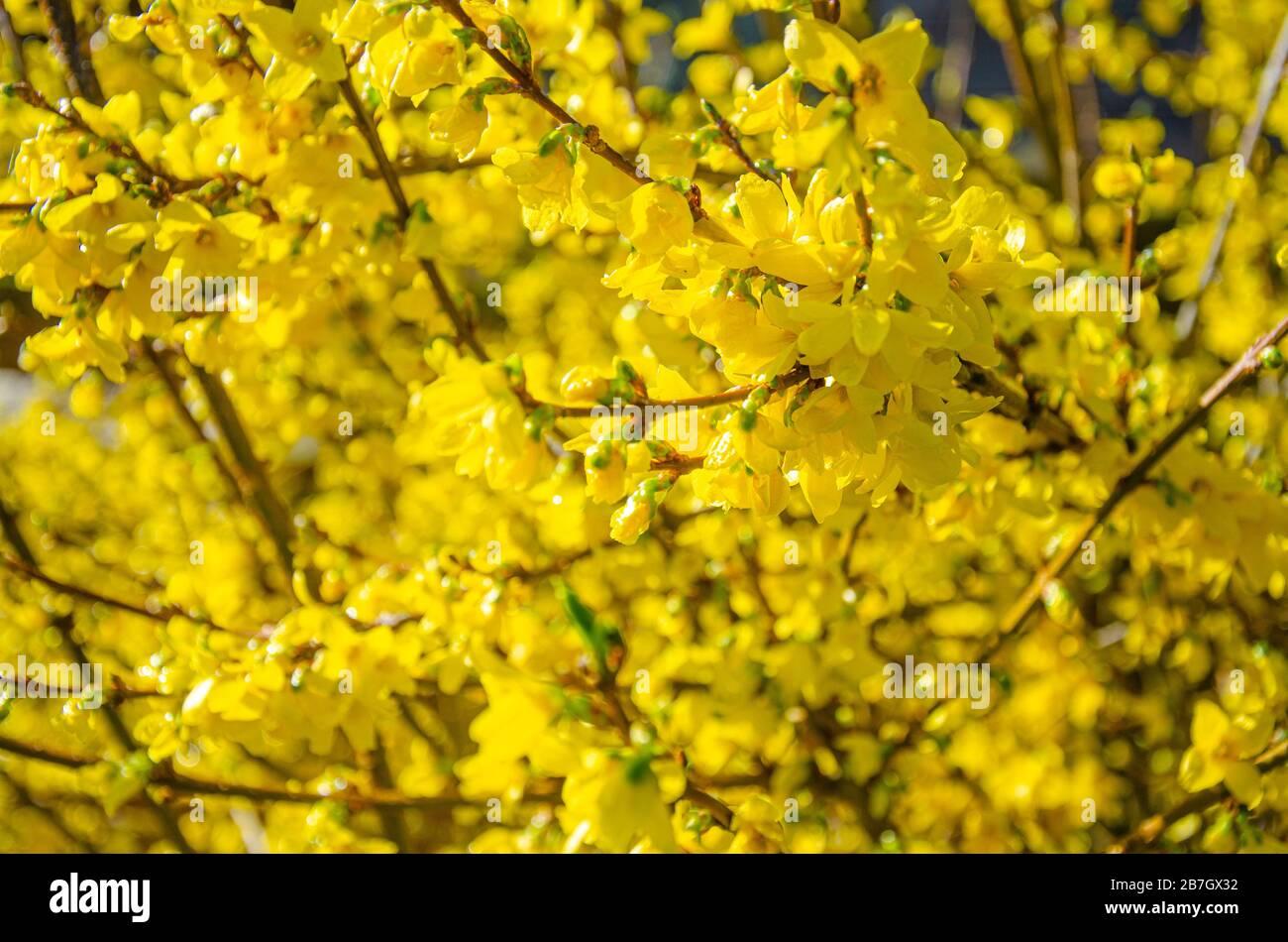 forsythia-is-a-spring-flowering-shrub-with-yellow-flowers-2B7GX32.jpg