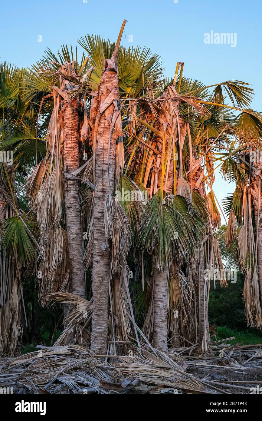 palm-trees-in-the-evening-light-2B7TP48.