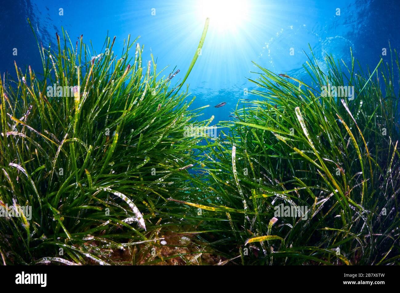 underwater-neptune-seagrass-posidonia-oc