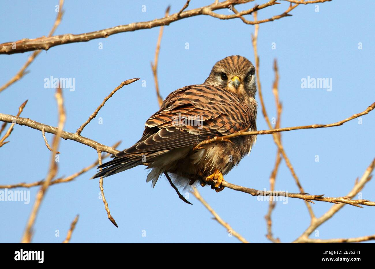 Juvenile Kestrel, Falco tinnunculus, blind in the left eye, perched on a branch against a blue sky. Taken at Stanpit Marsh UK Stock Photo