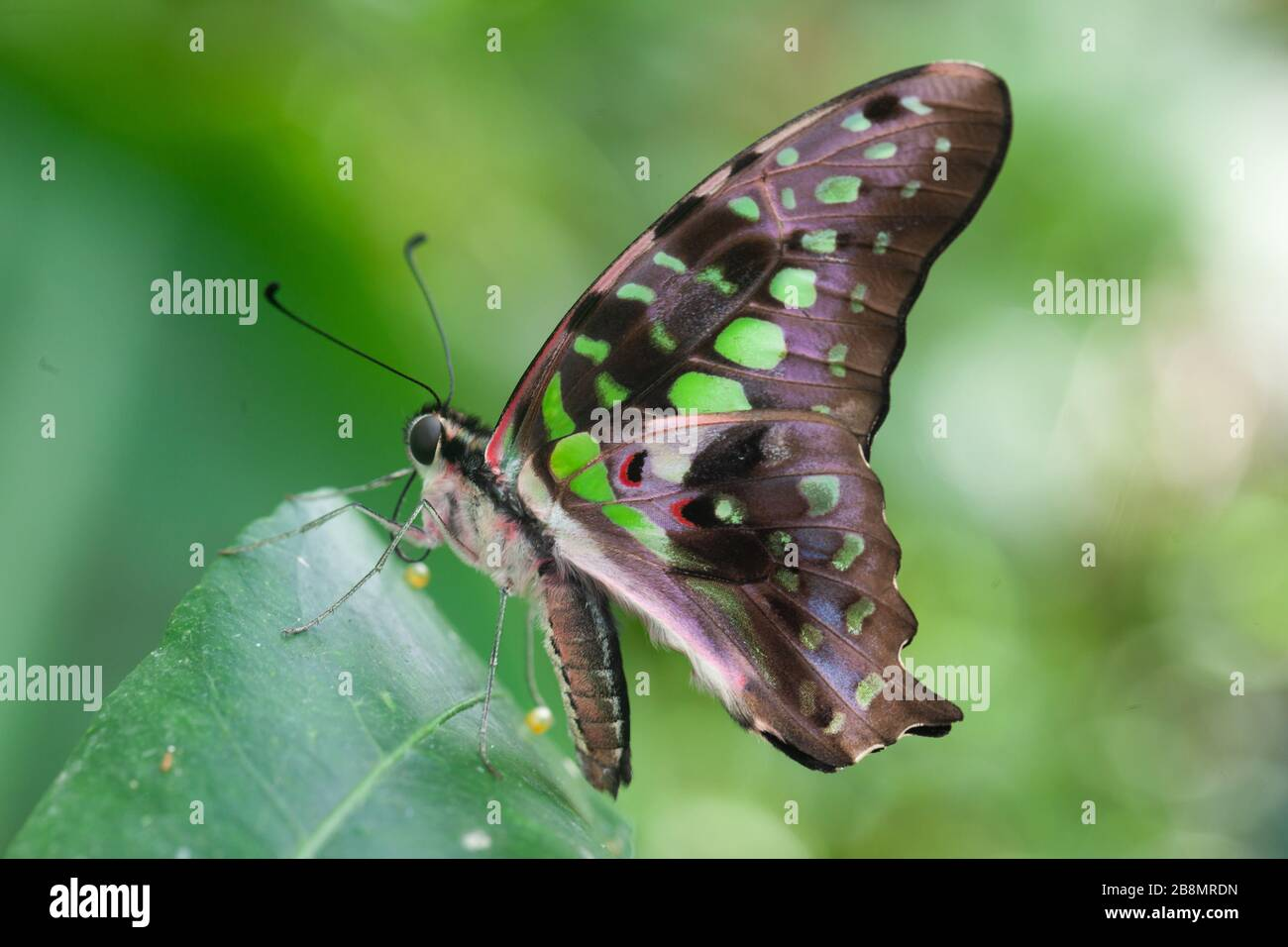 Natural world macro - A Green spotted triangle butterfly, Graphium agamemnon settles on peak of a lush green neo-tropical plant leaf Stock Photo