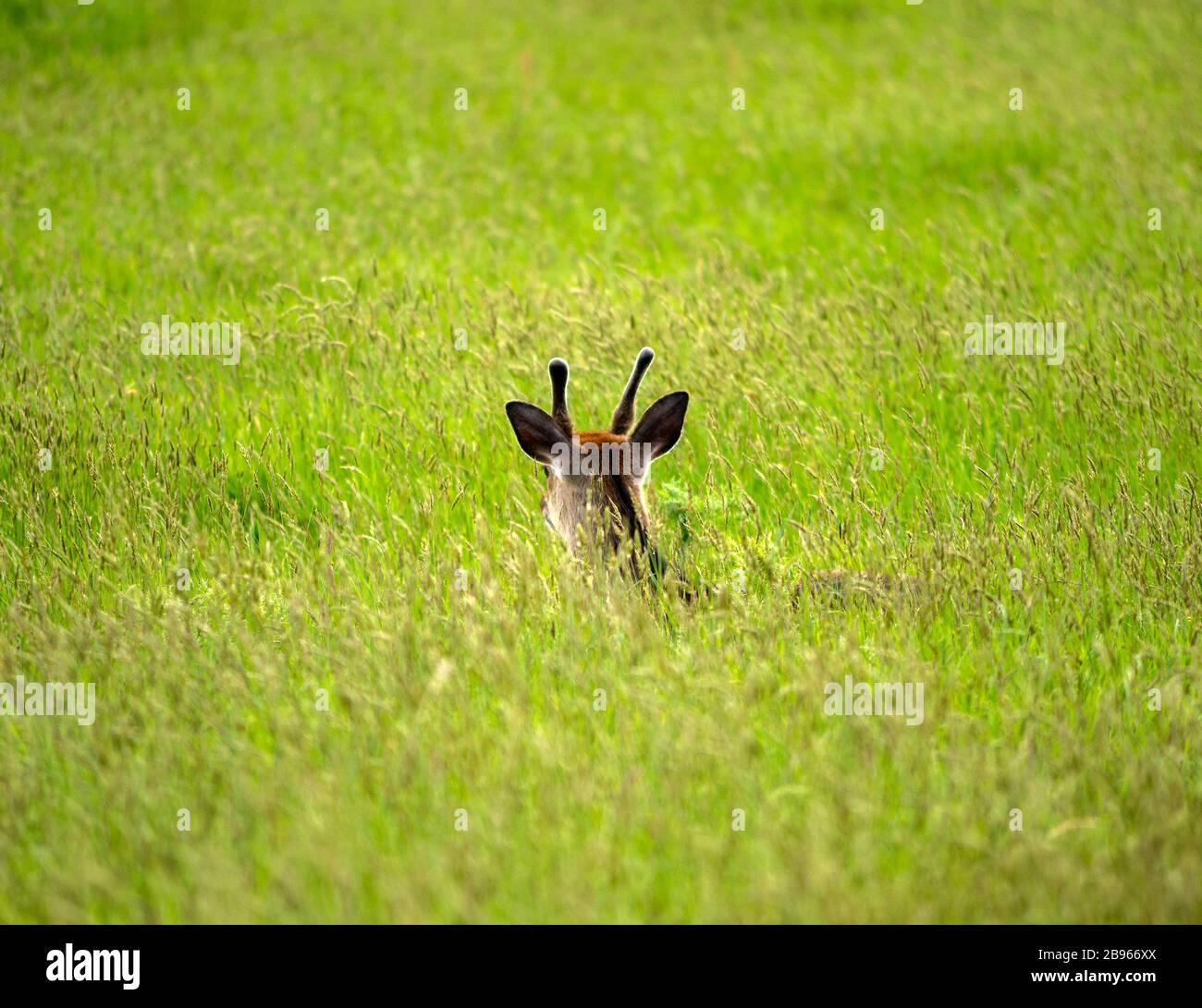 young-deer-or-cervus-elaphus-with-velvet