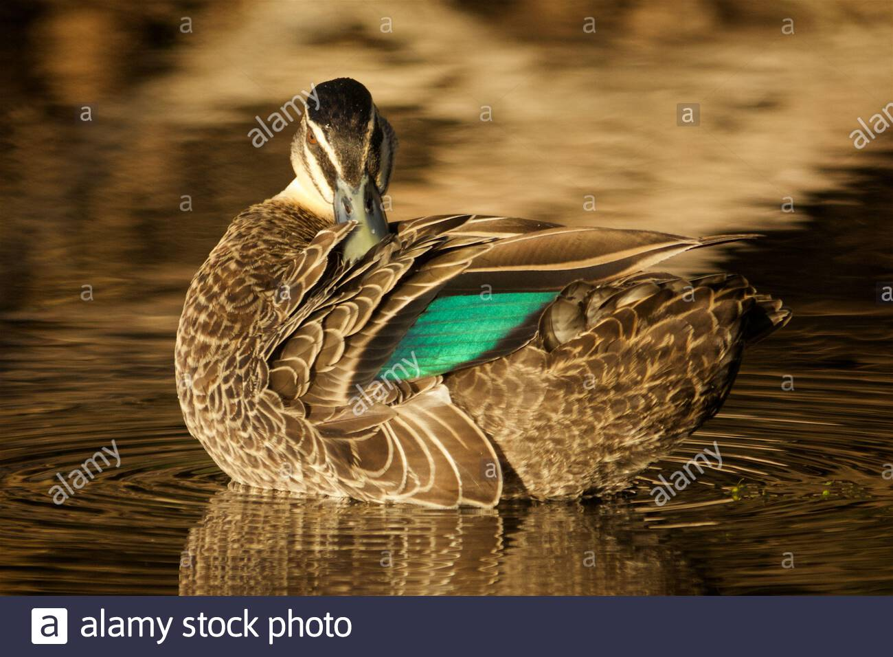 pacific-black-duck-anas-superciliosa-in-late-afternoon-light-with-beak-tucked-in-feathers-2B9CBNE.jpg