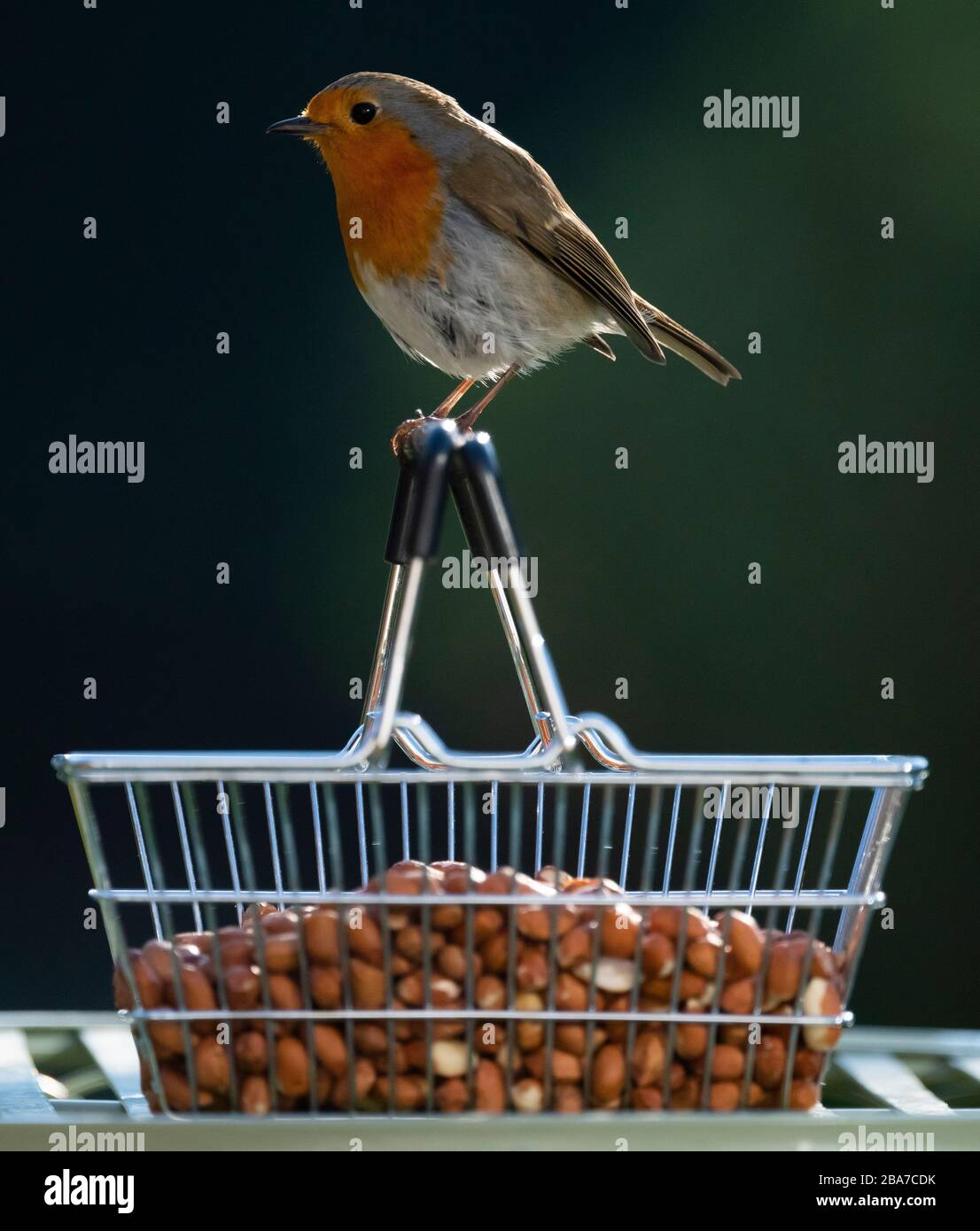 London, UK. 26th March 2020. Early morning Robin feeds from a peanut filled shopping basket in a suburban garden. Credit: Malcolm Park/Alamy Live News. Stock Photo