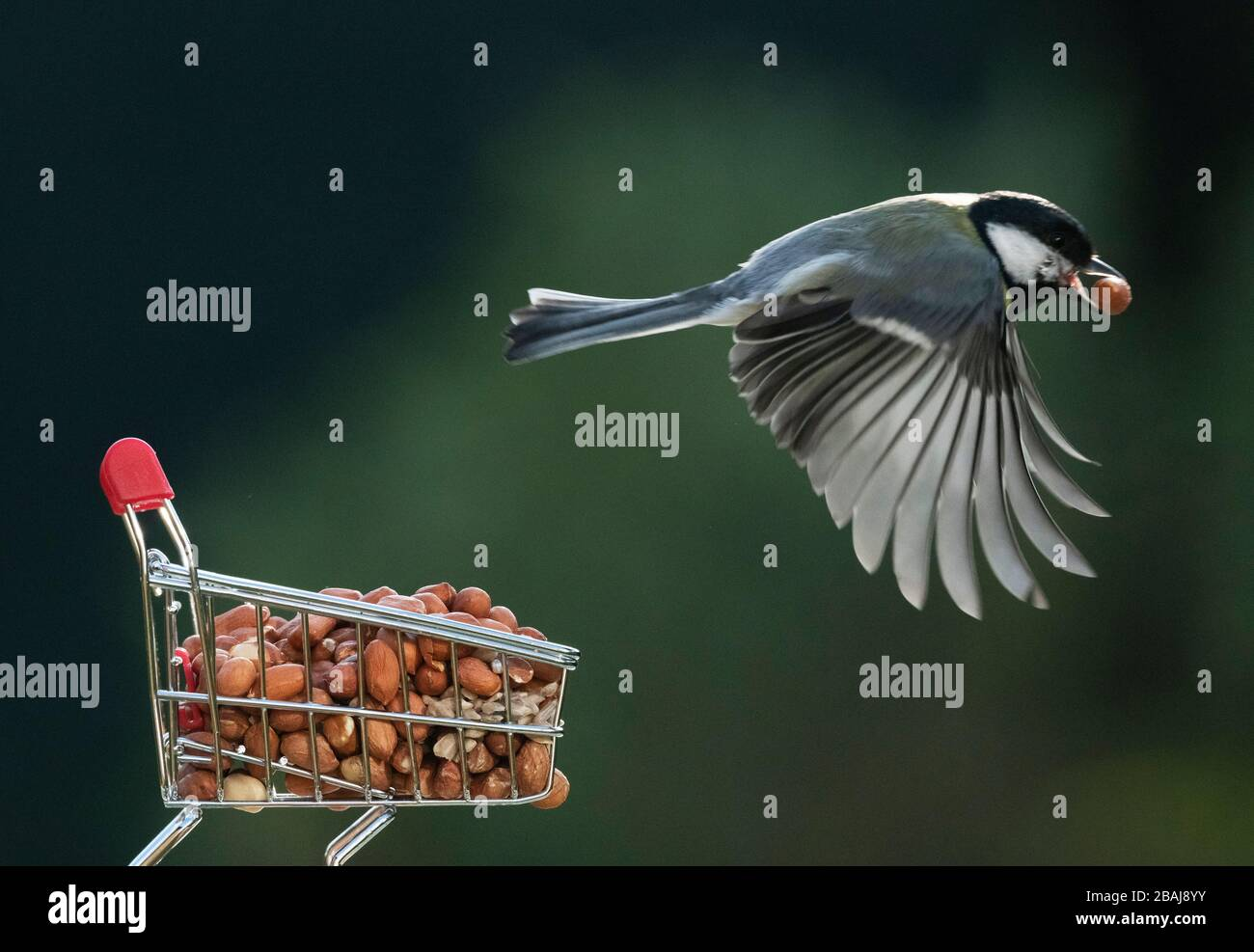 London, UK. 28th March 2020. Great Tit takes off from a peanut filled shopping trolley in a suburban garden. Credit: Malcolm Park/Alamy Live News. Stock Photo