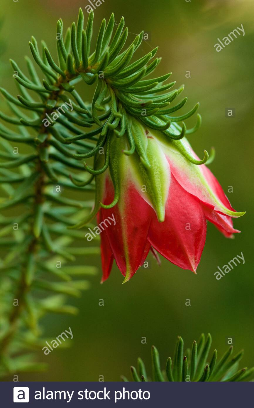 gillams-bell-darwinia-oxylepis-a-wildflower-endemic-to-southern-western-australia-2BARWF3.jpg