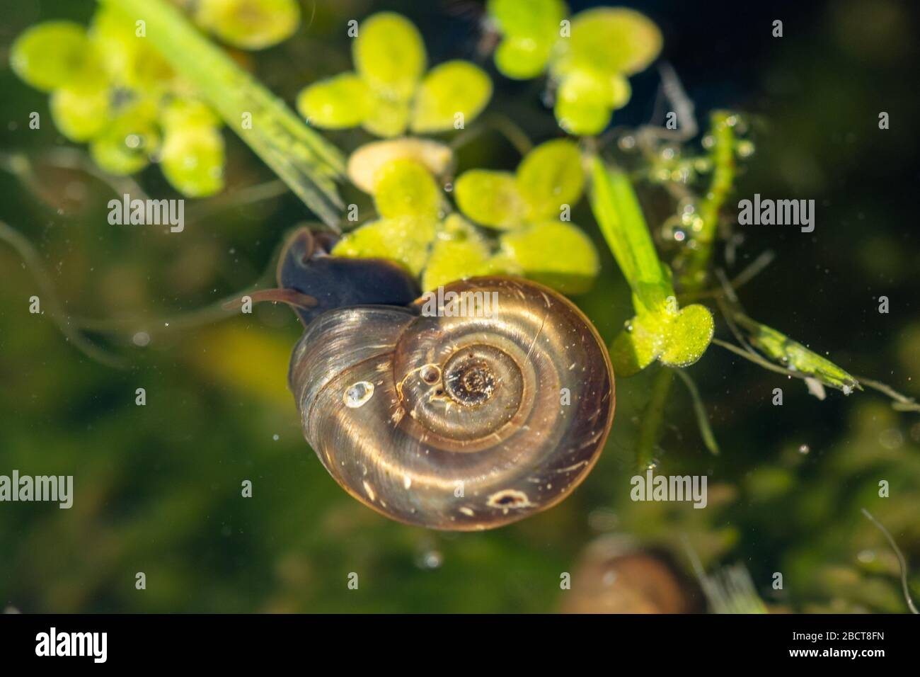 ramshorn-snail-planorbis-corneus-in-a-garden-pond-aquatic-uk-wildlife-2BCT8FN.jpg