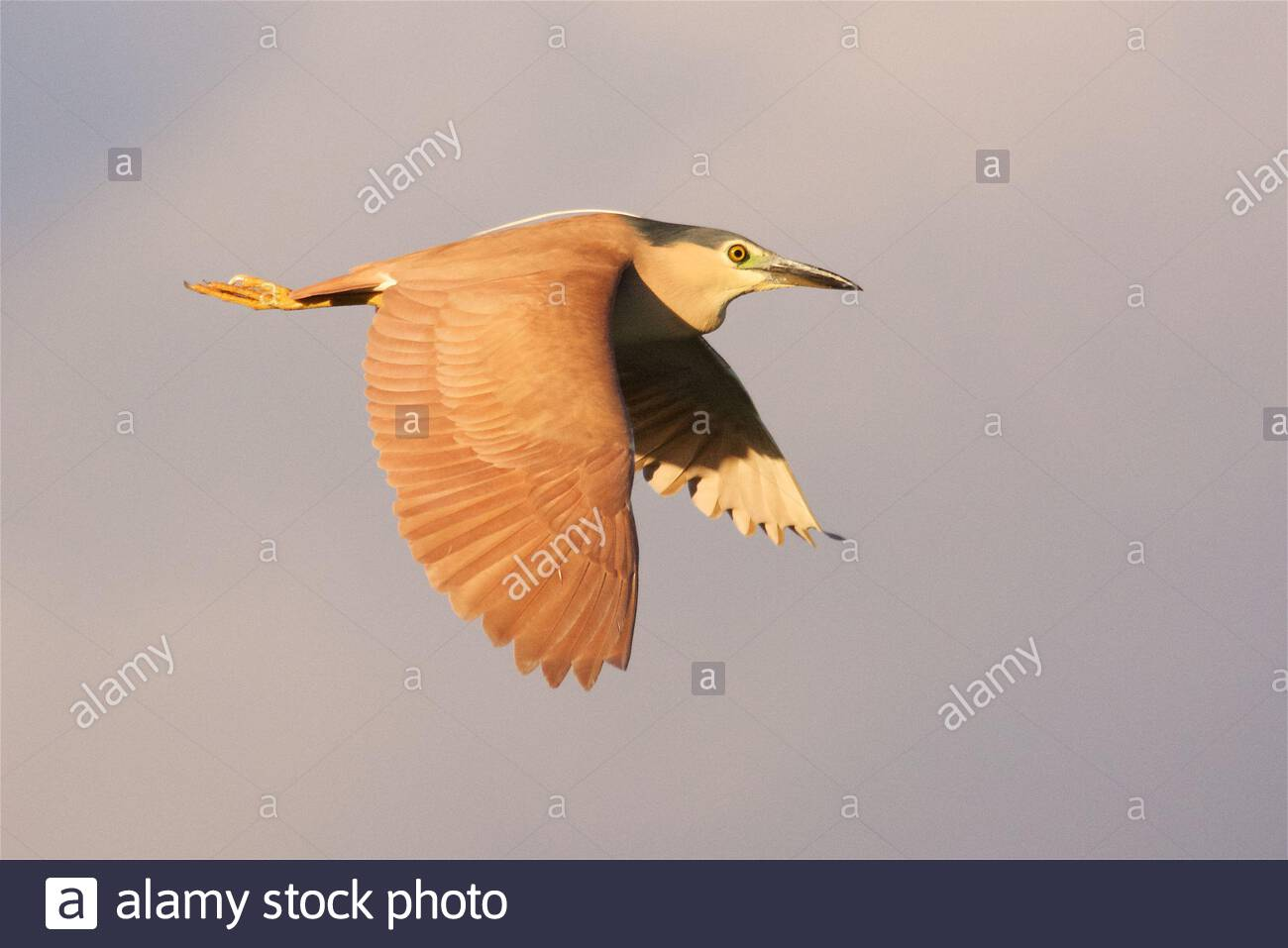 Nankeen Night-heron (Nycticorax caledonicus) in flight not long before sunset at Lake Gwelup, Perth, Western Australia Stock Photo