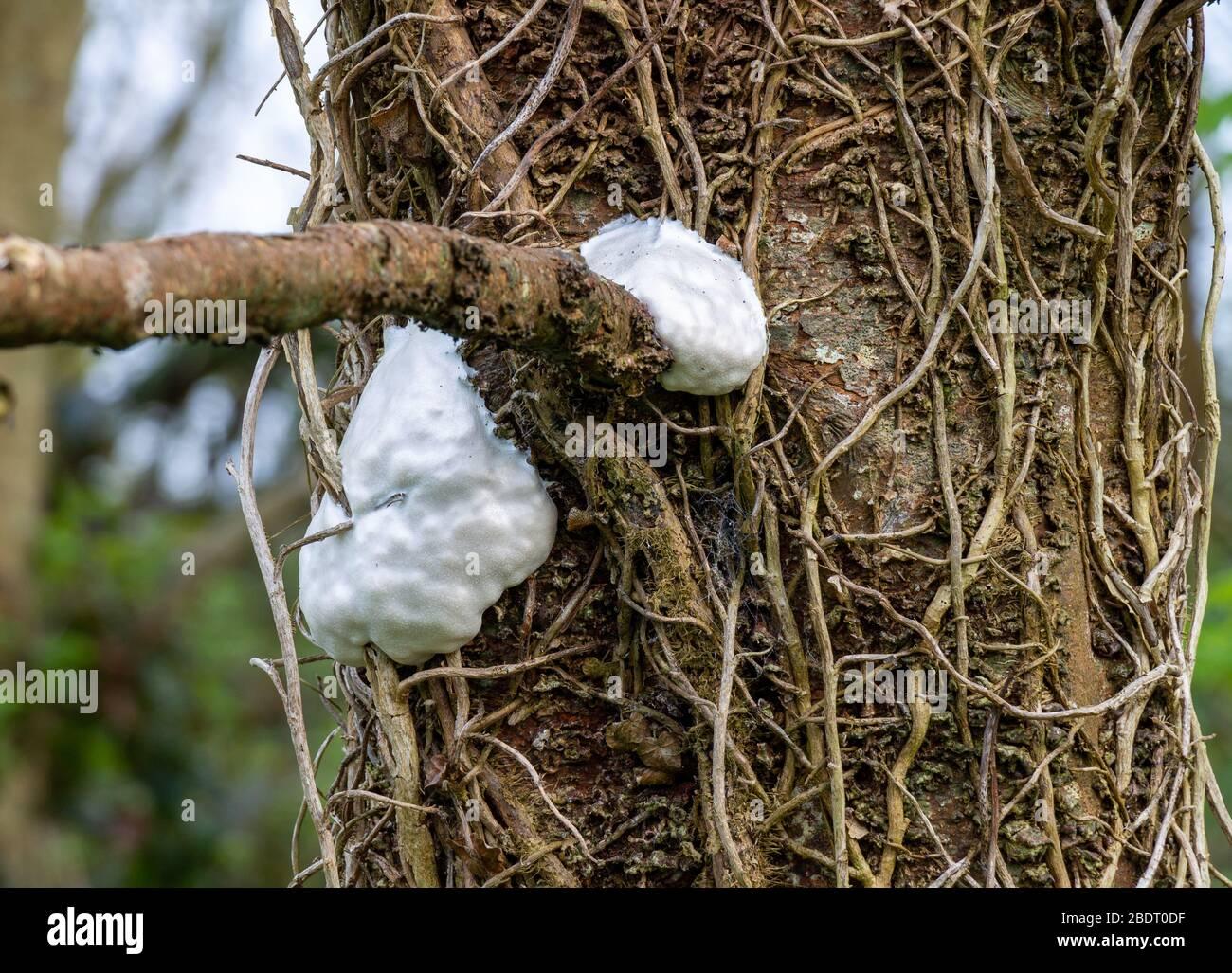 white-egg-cocoon-on-tree-2BDT0DF.jpg