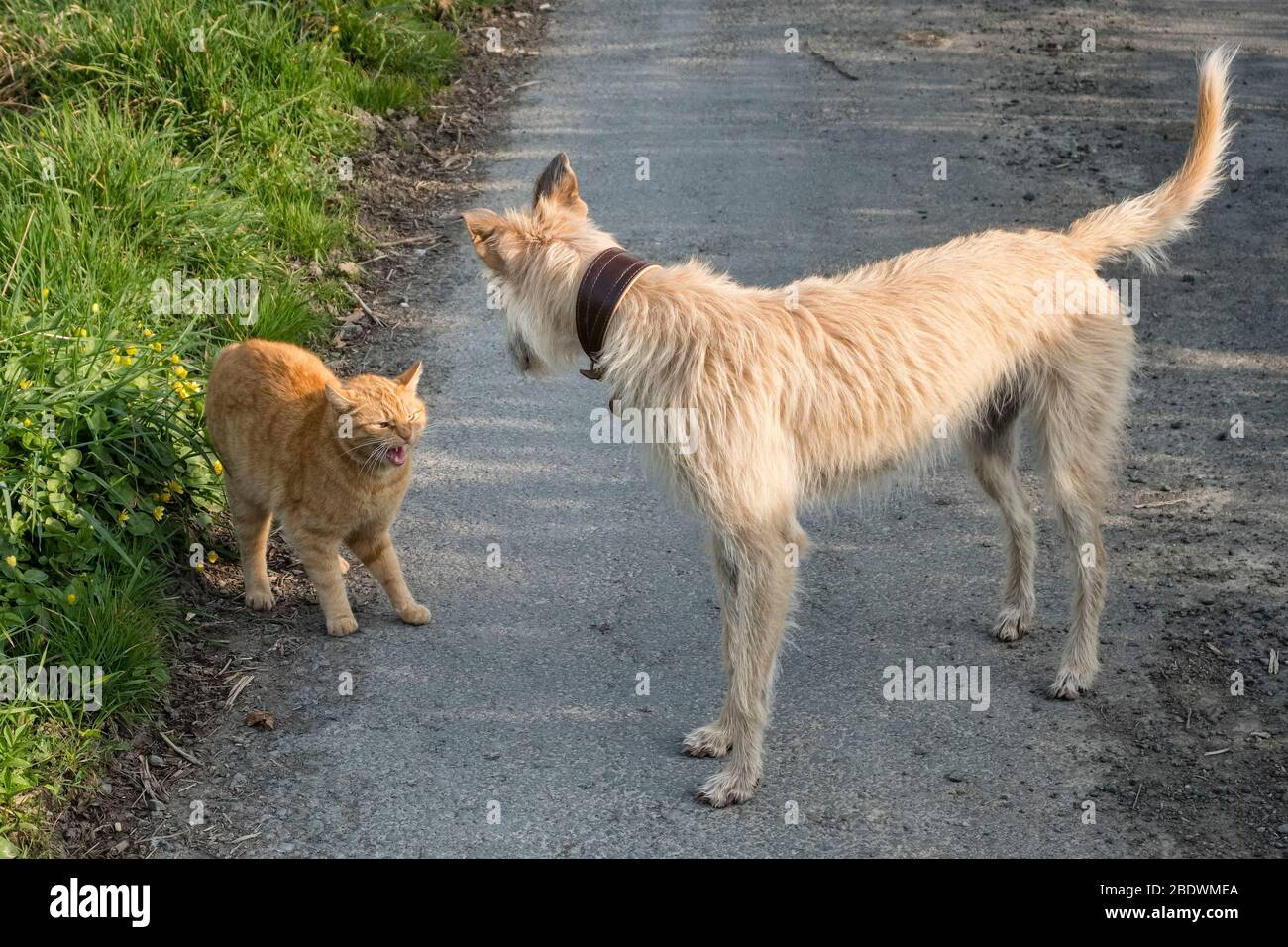 Social distancing among animals - a tailless Manx cat bares its teeth as it threatens an inquisitive lurcher dog that has come too close Stock Photo