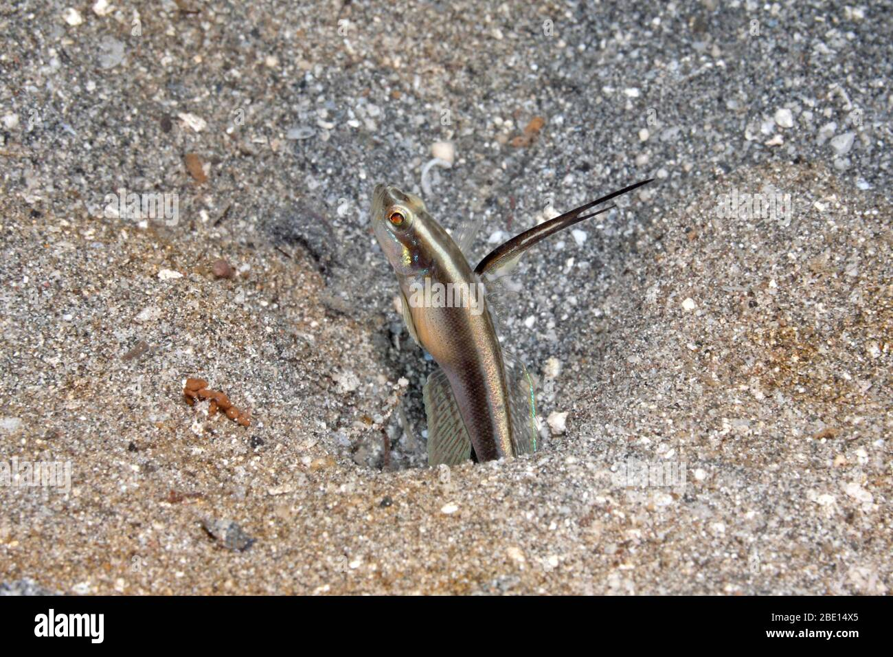 lachners-shrimpgoby-also-known-as-black-spear-shrimpgoby-myersina-lachneri-pemuteran-bali-indonesia-bali-sea-indian-ocean-2BE14X5.jpg