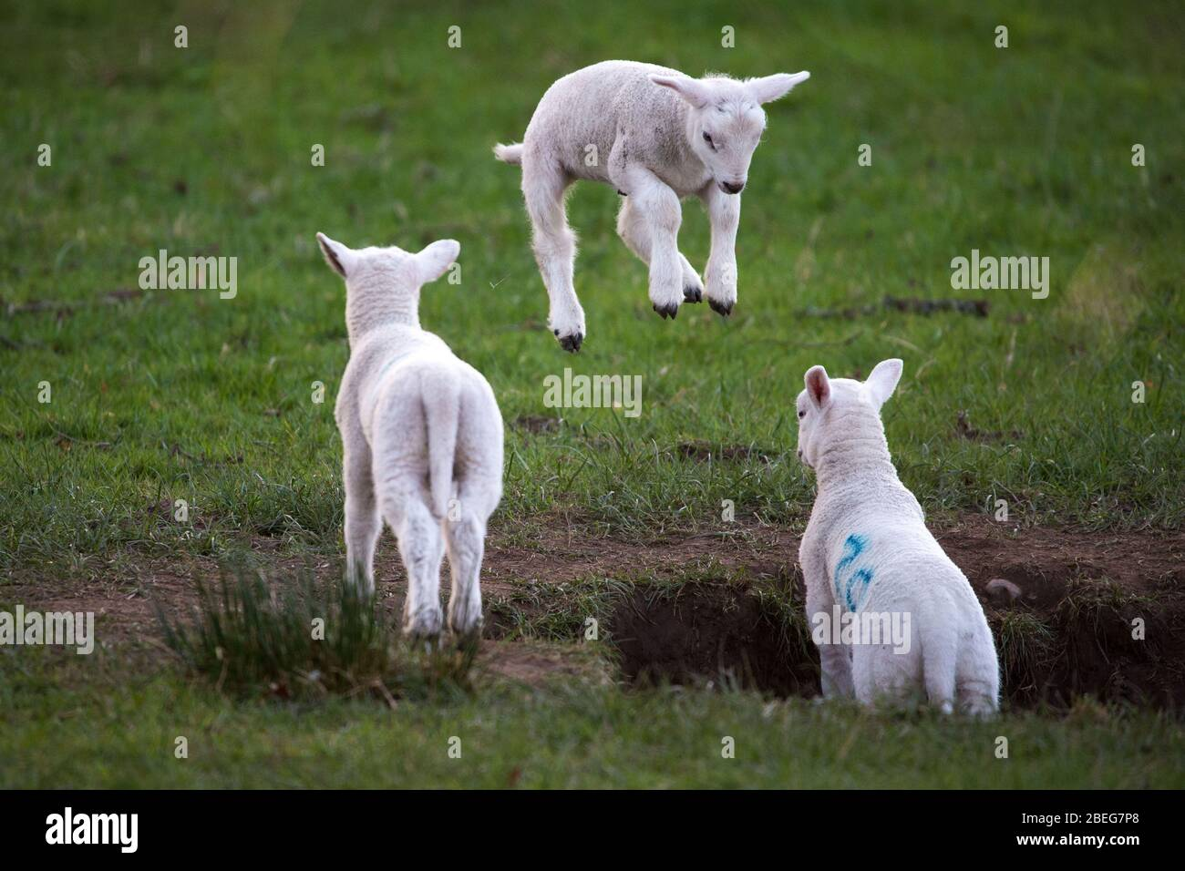 Doune, UK. 13th Apr, 2019. Pictured: Spring Lambs play in the late evening light on Bank Holiday Easter Monday. The Coronavirus (COVID-19) lockdown has been in place for almost 3 weeks allowing the expectant mother ewes to give birth in relative peace. The tiny lambs play and jump in the fields and suckle for milk from their mothers. Credit: Colin Fisher/Alamy Live News Stock Photo