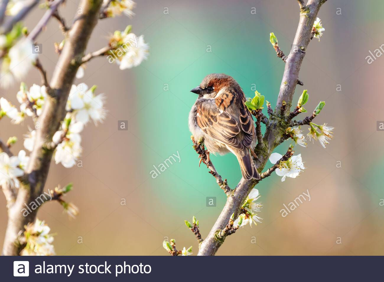 House sparrow (Passer domesticus) perched in a tree in spring bloom, taken in the UK Stock Photo