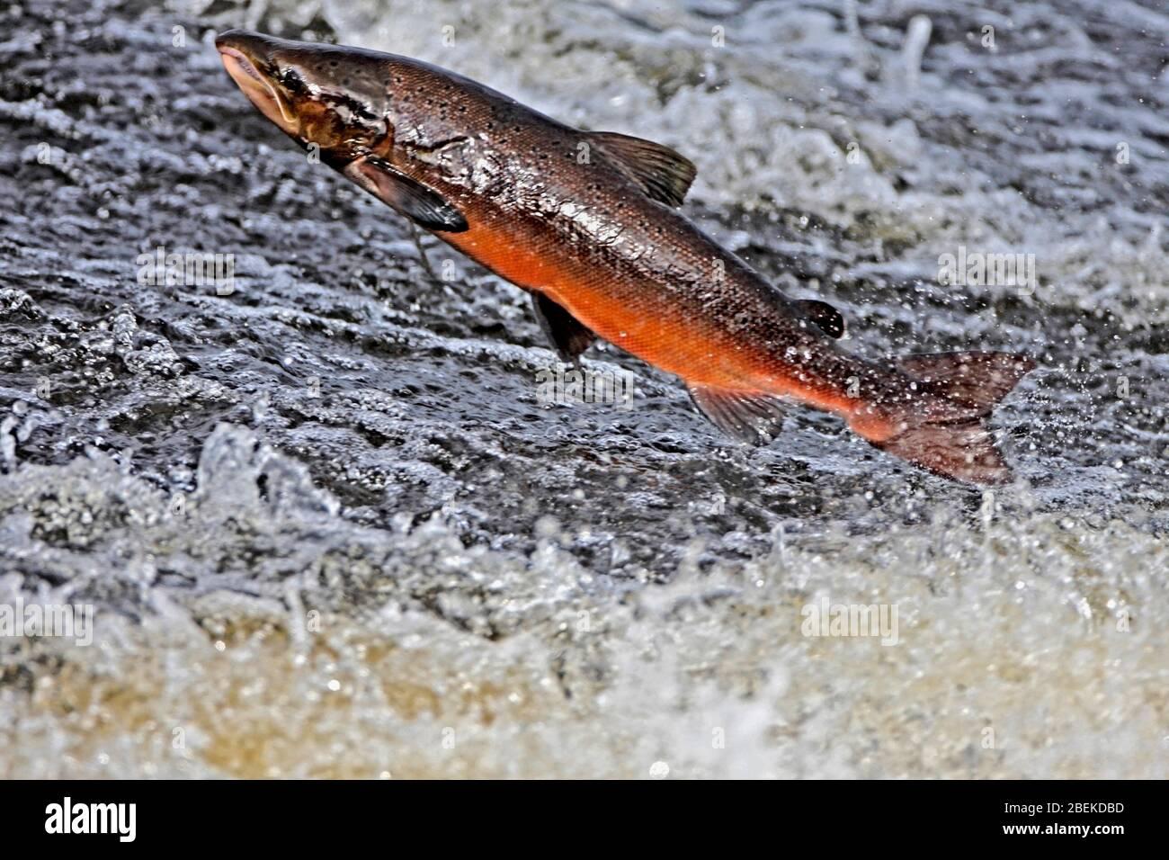 atlantic-salmon-leaping-scotland-uk-2BEKDBD.jpg