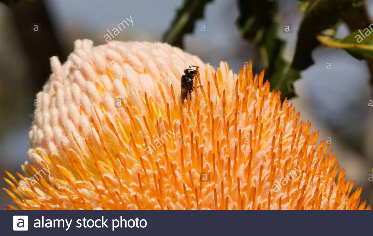 a-banksia-bee-hylaeus-alcyoneus-feeding-on-an-acorn-banksia-banksia-prionotes-in-western-australia-2BFGWT5.jpg