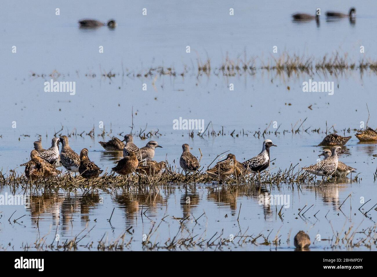 shorebirds-take-flight-at-the-merced-national-wildlife-refuge-in-the-central-valley-of-california-2BHMPDY.jpg