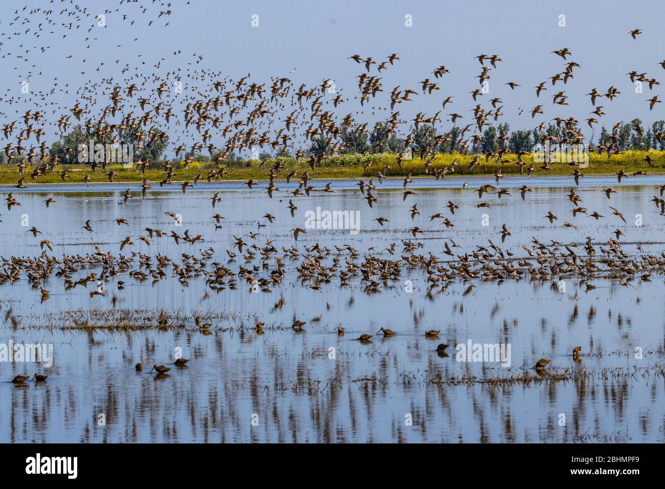 shorebirds-take-flight-at-the-merced-national-wildlife-refuge-in-the-central-valley-of-california-2BHMPF9.jpg