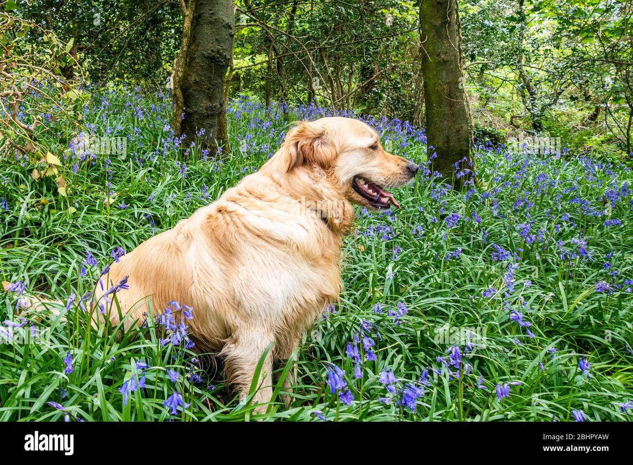 courtmacsherry-west-cork-ireland-27th-apr-2020-bluebells-were-in-full-bloom-as-they-formed-a-stunning-carpet-in-courtmacsherry-woods-today-luna-the-labrador-had-a-great-time-playing-in-the-woods-credit-ag-newsalamy-live-news-2BHPYAW.jpg