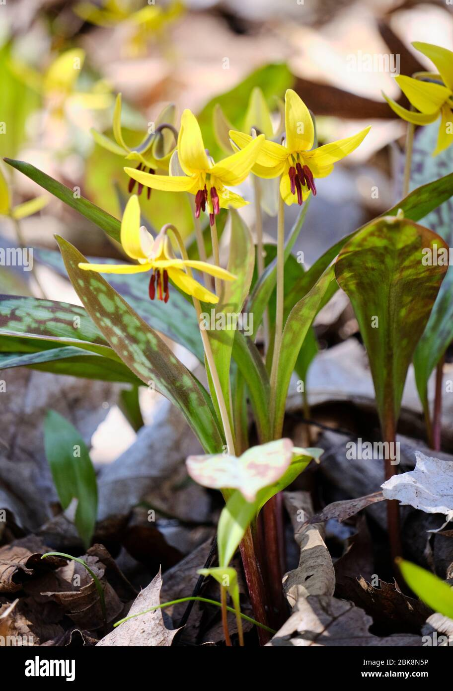 bunch-of-yellow-trout-lily-erythronium-americanum-in-bloom-on-forest-floor-2BK8N5P.jpg