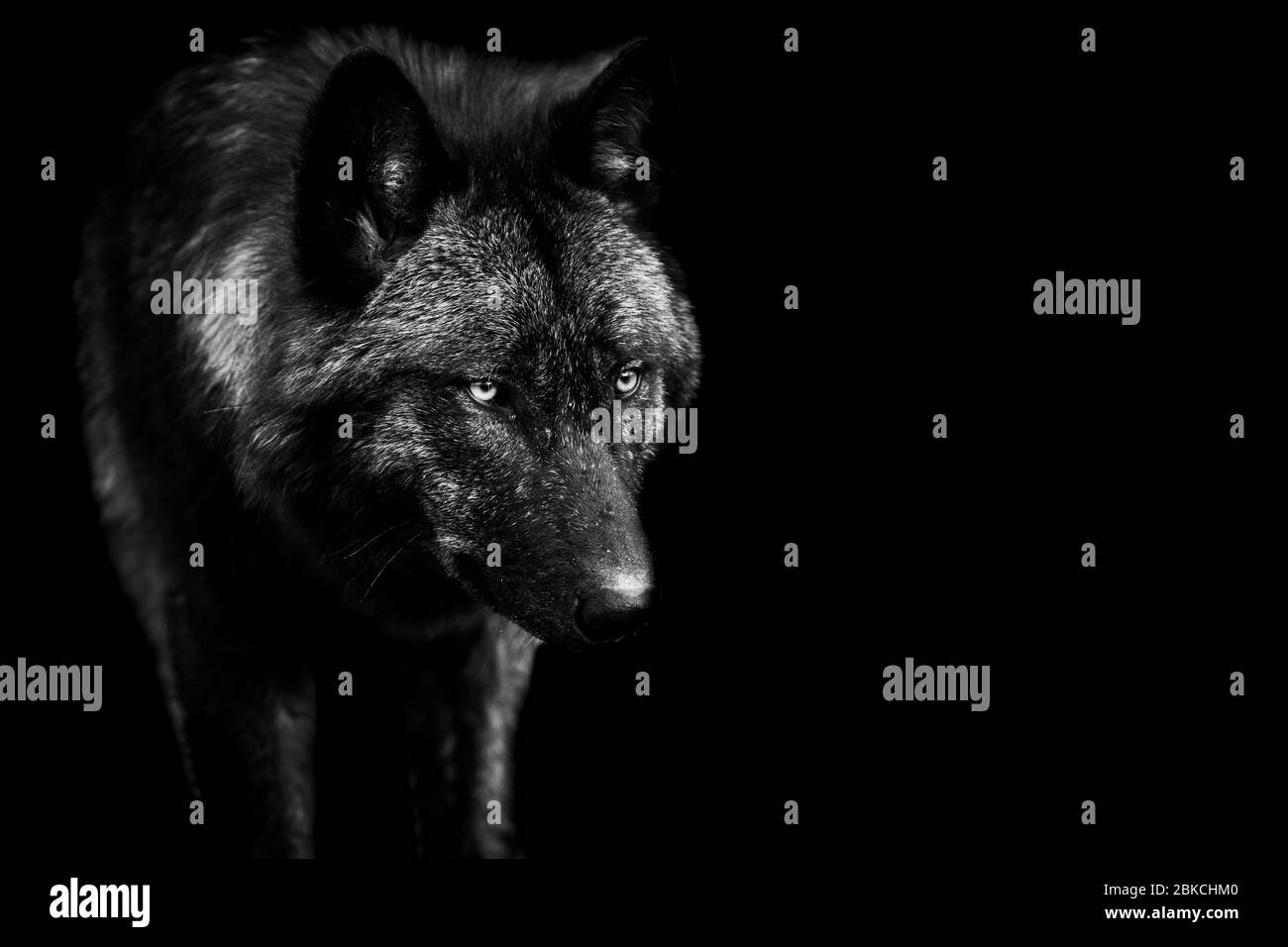 Black wolf with a black Background in B&W Stock Photo