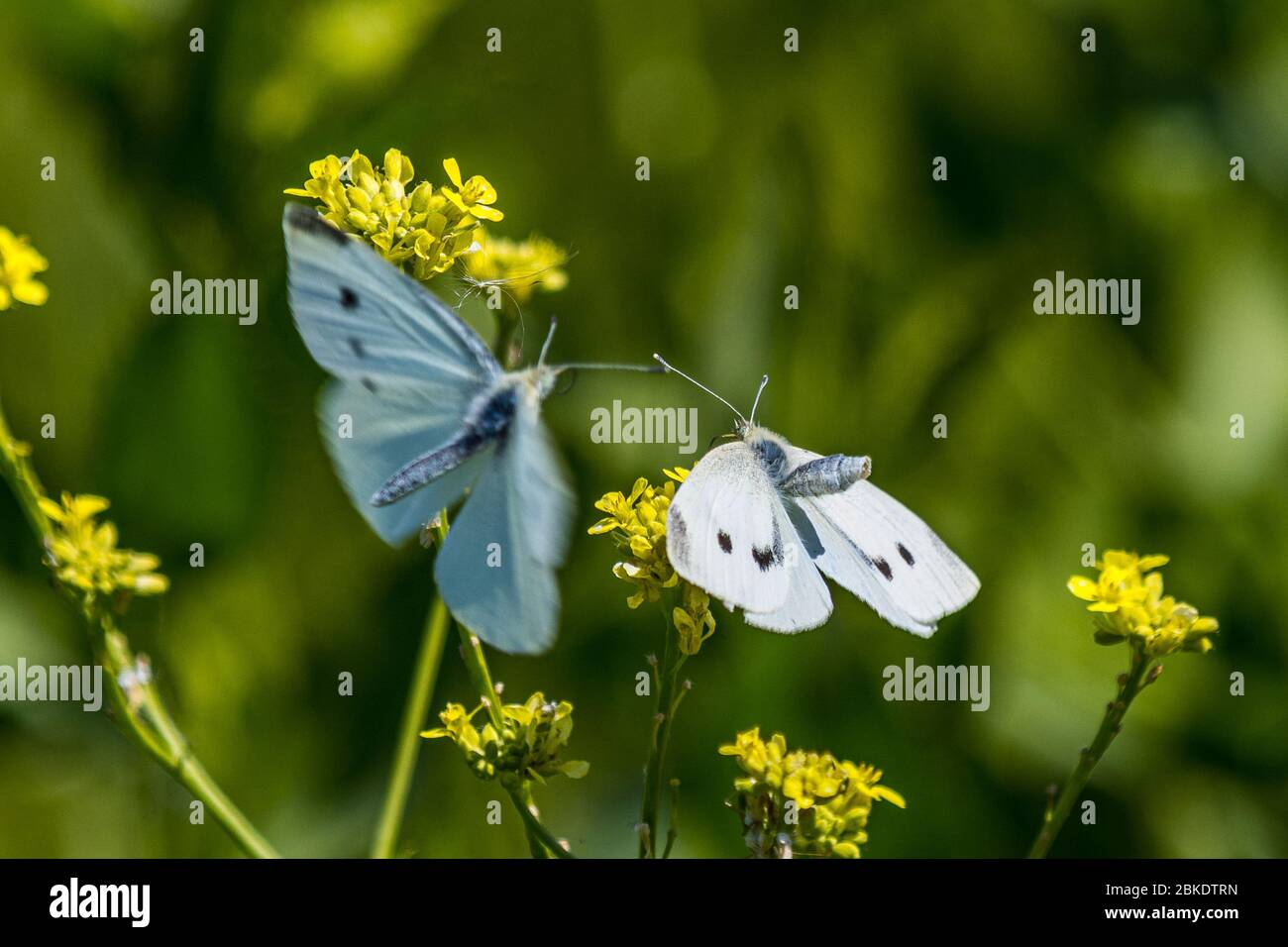 two-cabbage-white-butterflies-pieris-rapae-at-the-merced-national-wildlife-refuge-in-the-central-valley-of-caifornia-usa-2BKDTRN.jpg