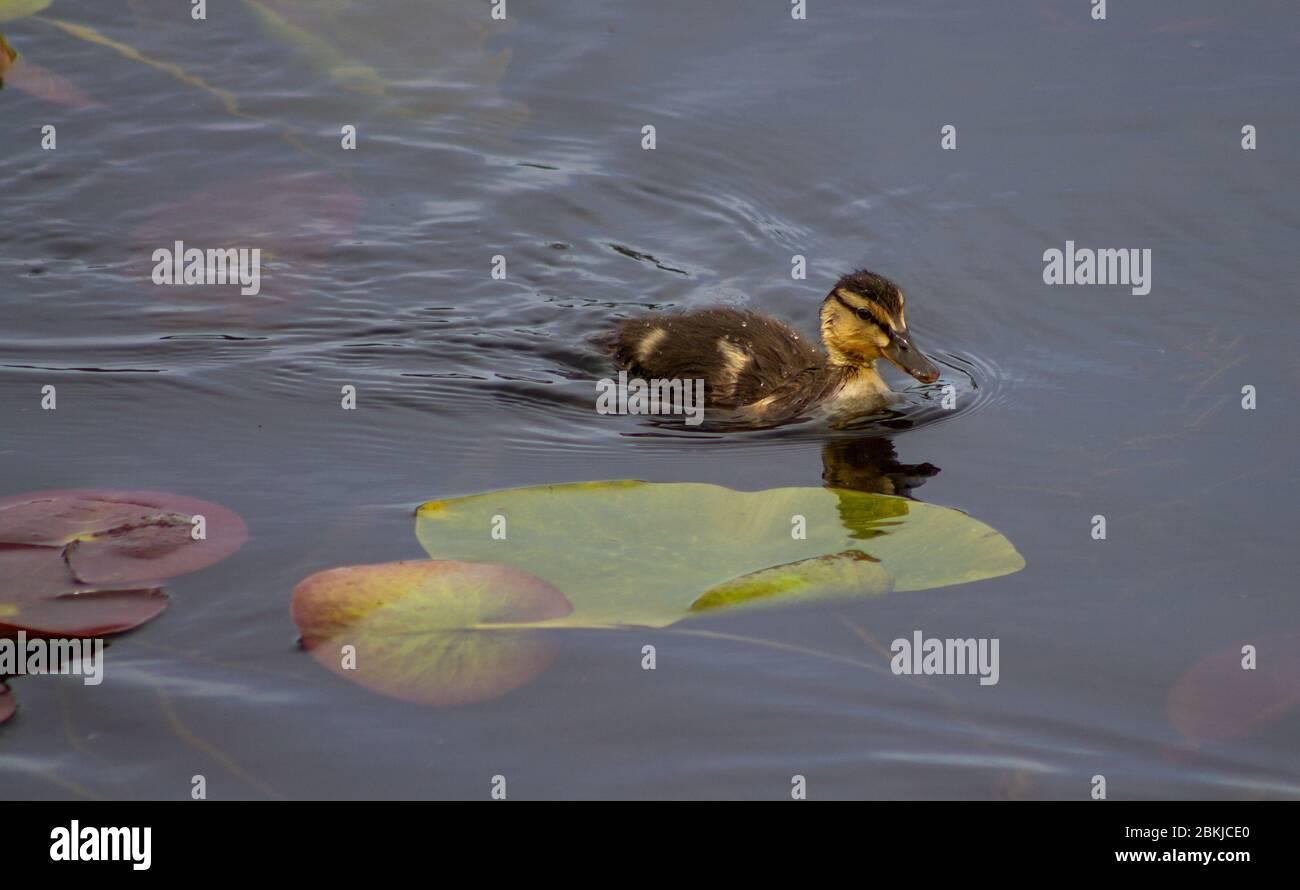 mallard-duck-duckling-swimming-through-lilly-pads-2BKJCE0.jpg