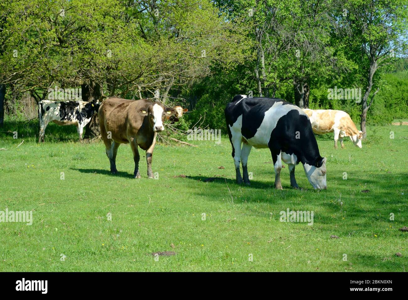 cows grazing in large field in a rural countryside area zala county hungary Stock Photo